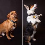Dog Portraits Available