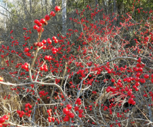 This year will be known as a very good year for the red berries. They are a lively pop of color everywhere this year along the roads and in wet areas. They also provide hearty meals for our feathered friends.