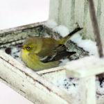 Feeder Watchers, Observers Needed for Midcoast Christmas Bird Counts