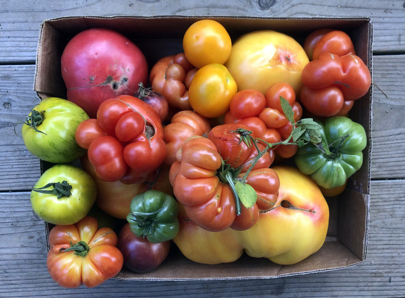 A box of heirloom tomatoes from the Newcastle farm Veggies to Table. The farm donated more than 4,250 pounds of organic produce and flowers to more than 30 organizations and families in 2019, its first year in operation. (Photo courtesy Erica Berman)