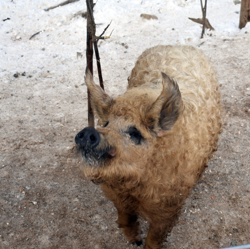 A Mangalitsa pig at Switchback Farm in Nobleboro. (Alexander Violo photo)