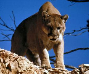 A mountain lion surveys its western habitat. (Photo courtesy National Park Service)
