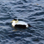 Mid-Coast Audubon Field Trip to Pemaquid Point