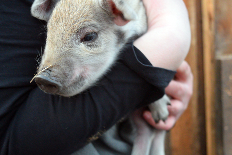 Kelly Dunbar holds a 2-day-old piglet at Broad Arrow Farm in Bristol. (Jessica Clifford photo)