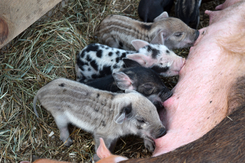 Four piglets nurse in a line at Broad Arrow Farm in Bristol. (Jessica Clifford photo)
