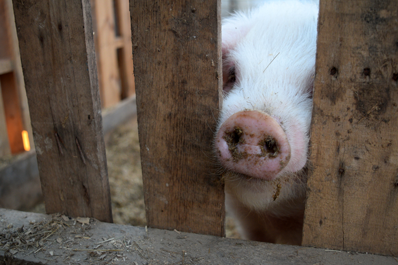 A pig sticks a muddy snout through an opening in a fence at Broad Arrow Farm in Bristol. (Jessica Clifford photo)