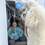 Llama Visits Cove's Edge Residents on 'Window Walks'