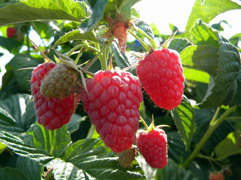 Eden red raspberry has large, sweet, firm berries in mid-summer on thornless canes. (Photo courtesy backyardberryplants.com)