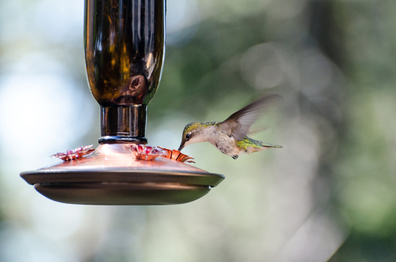 A hummingbird feeds at a nectar feeder. (Photo courtesy Jeremy Lwanga/Unsplash)