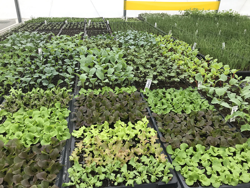 The new seedlings are off to a healthy start at Twin Villages Foodbank Farm.