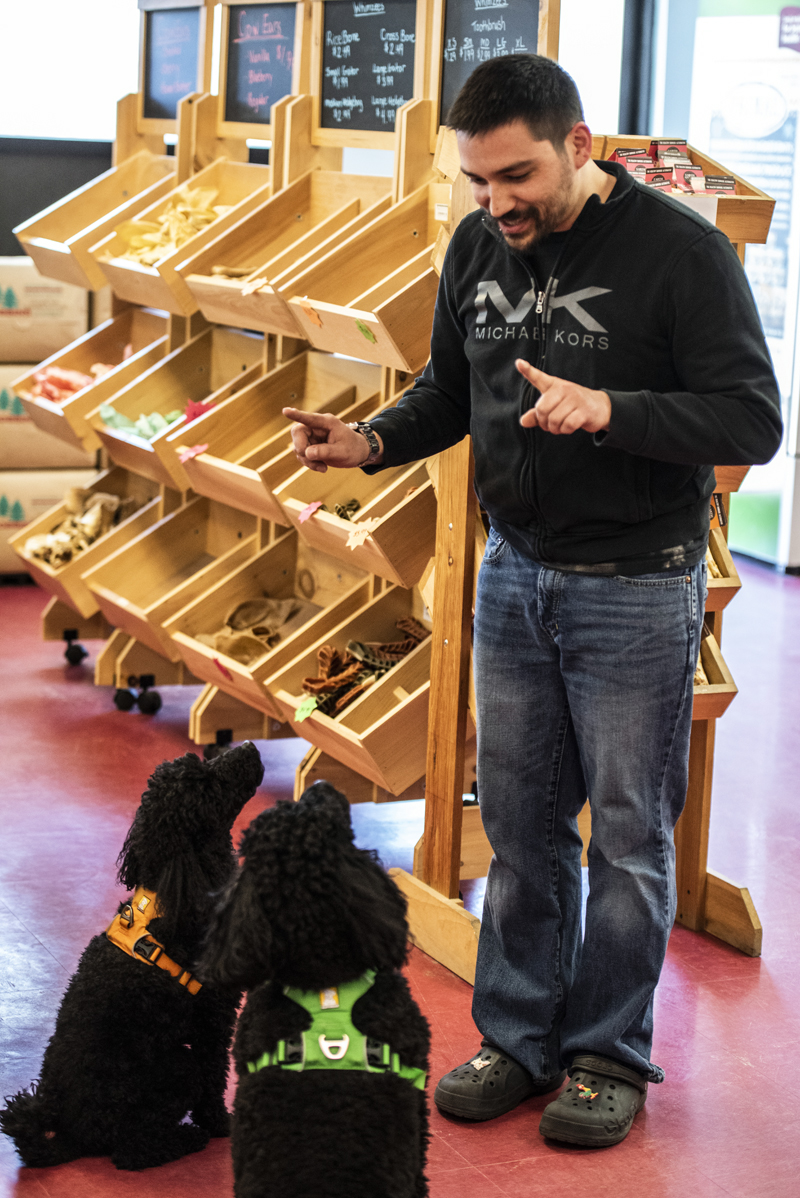 """Wil Paul practices the """"sit"""" command with his moyen poodles, Zara and Kona, at The Animal House in Damariscotta on Saturday, April 25. Paul joked that the treat-focused poodles are his biggest shoplifters. (Bisi Cameron Yee photo)"""
