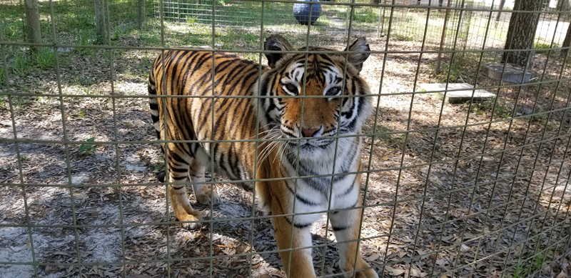 Priya, a tiger, is one of the animals Bailey Chalmers, of Damariscotta, worked with during her internship at Big Cat Rescue. (Photo courtesy Bailey Chalmers)