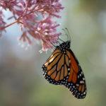 The World of Monarch Butterflies
