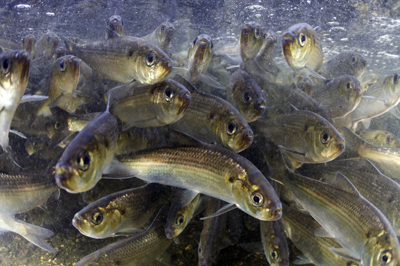 Alewives, used as lobster bait, swim upstream at the Damariscotta Mills fish ladder.