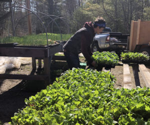 Farm Director Sara Cawthon of Twin Villages Foodbank Farm prepares to move seedlings from the greenhouse to the fields.