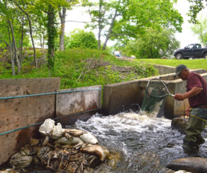 Rick Poland, a member of the Bristol Fish Committee, nets alewives at the base of the Bristol Mills Fish Ladder to collect measurements and scale samples. (Alyce McFadden photo)