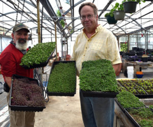Midcoast Micros founders Buzz Pinkham (left) and Jim Peterson display some of the microgreens they grow and deliver from a home base at Pinkham's Plantation in Damariscotta. (Hailey Bryant photo)