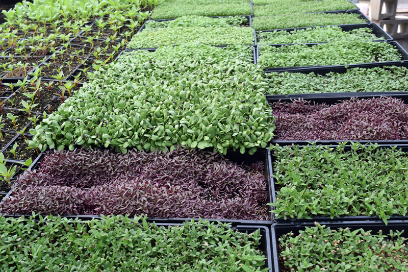 Some of the microgreens Midcoast Micros has available include sunflower, amaranth, Chinese mahogany, and hemp. (Hailey Bryant photo)
