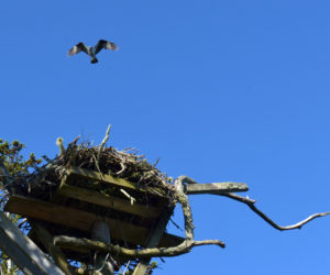 An osprey flies over its nest on Hog Island. (Paula Roberts photo)