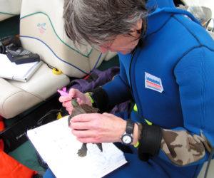 Citizen scientist, Karen Robbins, inspects a turtle found in the estuary.