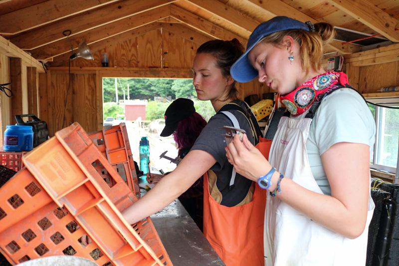 Truman Scholar Essie Martin conducts research at a Community Shellfish lobster pound in Bremen. (Photo courtesy Essie Martin)