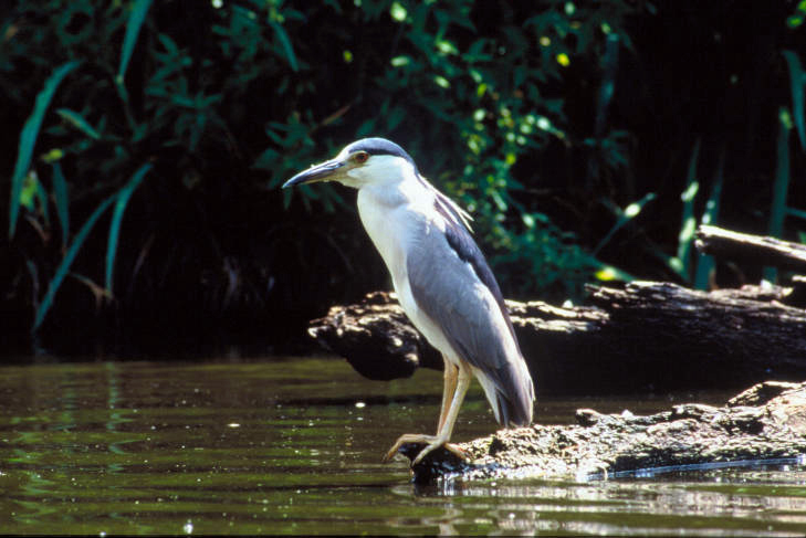 A black-crowned night-heron on a piece of driftwood. (Photo courtesy Steve Farrell, U.S. Fish and Wildlife Service)