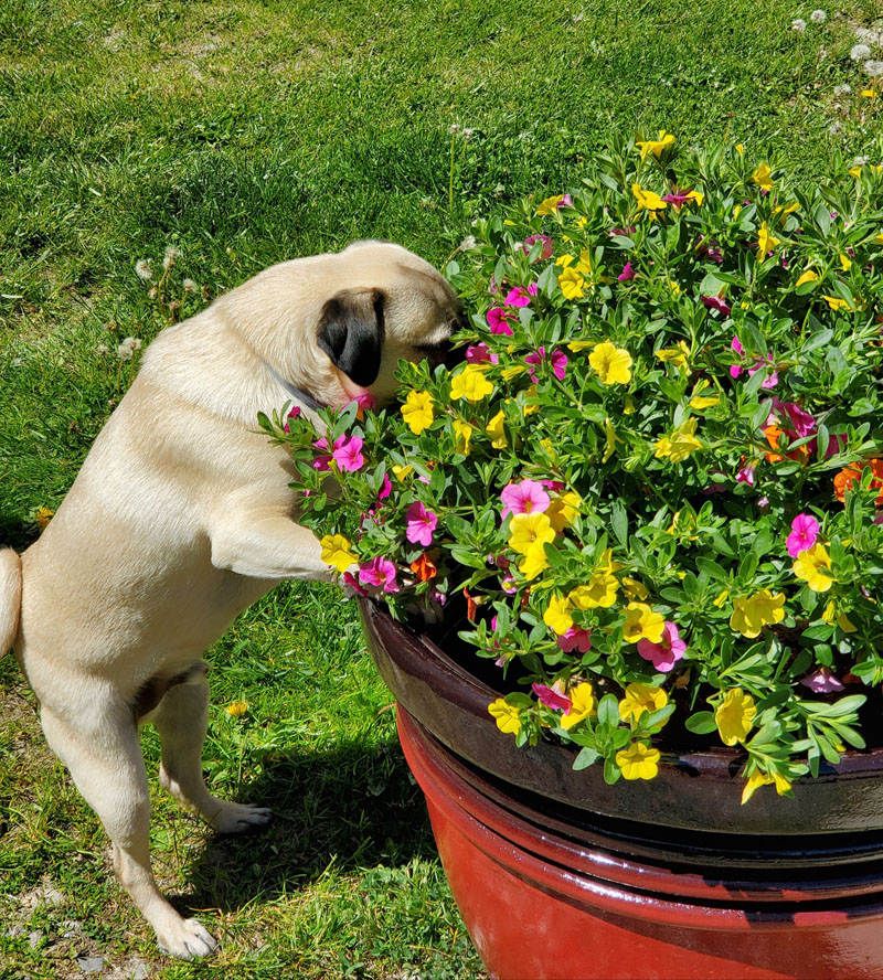Shana York, of Newcastle, won the July #LCNme365 photo contest with a picture of her dog, Mookie Betts, admiring flowers. York will receive a $50 gift certificate to Riverside Butcher Co., the sponsor of the July contest.