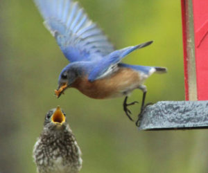 Debbie Speed's photo of a bluebird feeding its baby received the most votes to win the June #LCNme365 photo contest. Speed, of Wiscasset, will receive a $50 gift certificate to a local business courtesy of Maine Septic Solution, the sponsor of the June contest.