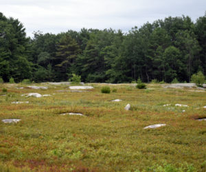 Blueberry fields at Quarry Hill Preserve in Waldoboro. (Alexander Violo photo)