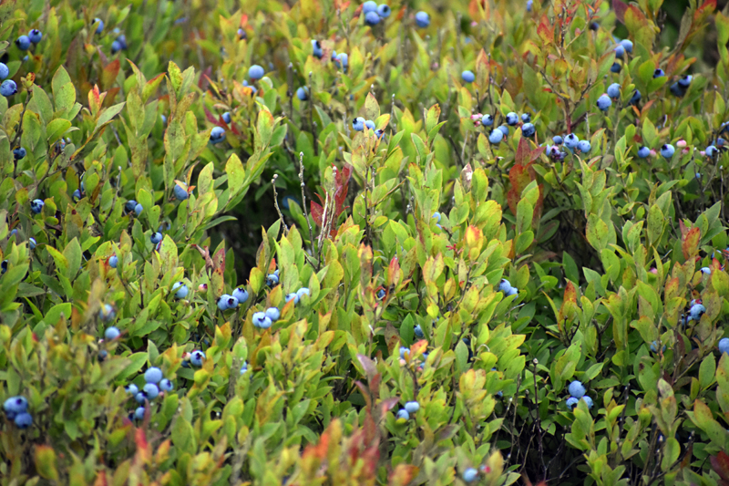 Blueberries grow on the 320-acre Quarry Hill property in Waldoboro. (Alexander Violo photo)