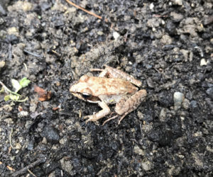 A wood frog in a garden. (Photo courtesy Lee Emmons)