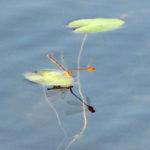 Damselflies, Dragonflies Webinar