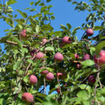 Special Rules for Pick-Your-Own Apples this Fall