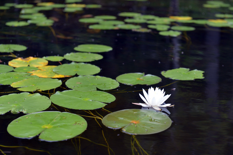 Lily and pads in Knickerbocker Lake. (Paula Roberts photo)