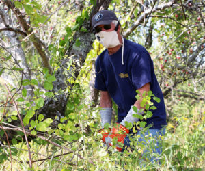 Trail volunteer Lee Schiller clears Asiatic bittersweet and multiflora rose vines from an apple tree. (Photo courtesy Kris Christine)