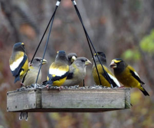 Evening grosbeaks share a communal meal at a Lincoln County feeder. (Photo courtesy Jennifer Duncan)