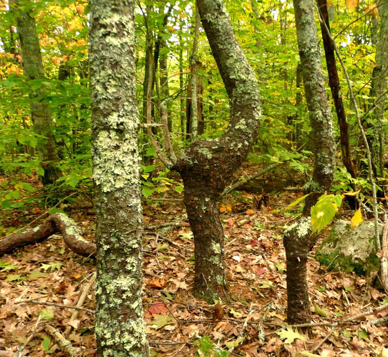 Crooked trees. (Photo courtesy Nancy Holmes)