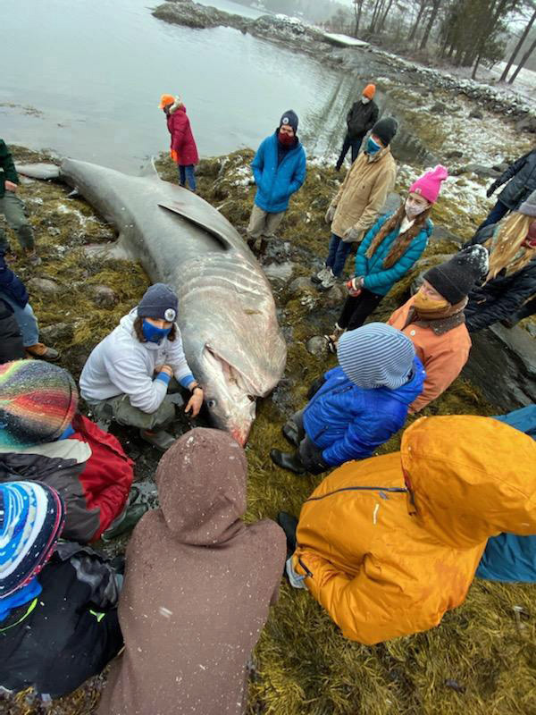 Bremen students view a basking shark on the shore of Greenland Cove on Jan. 5. (Photo courtesy Liz Mcgregor)
