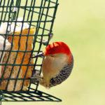 Mid-Coast Audubon Birdseed Sale