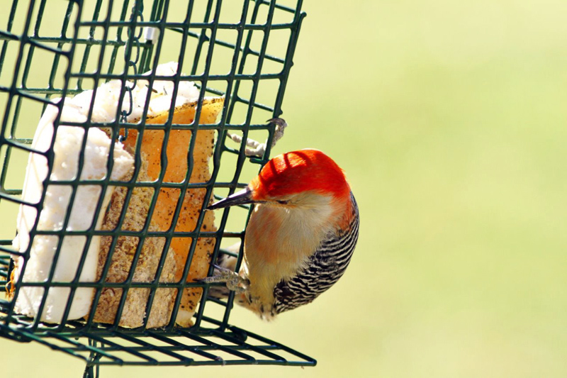 Red-bellied Woodpecker (Photo courtesy Don Reimer)