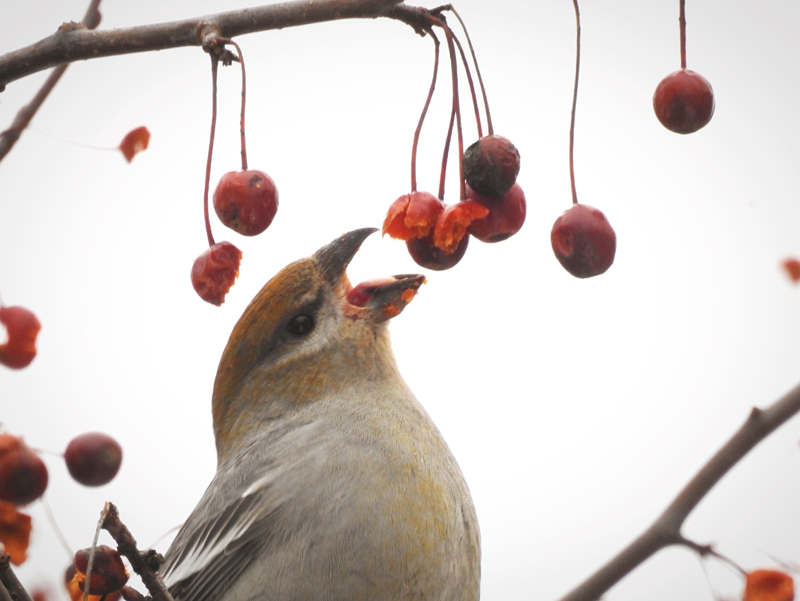 Cory Elowe won the January #LCNme365 photo contest with his photo of a pine grosbeak feasting on crabapples in Damariscotta. Elowe will receive a $50 gift certificate from Cupacity, of Damariscotta, the sponsor of the January contest.