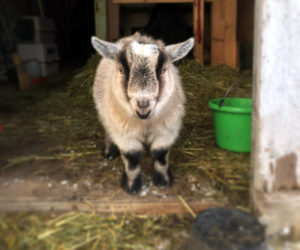 Opie the goat on his arrival. (Photo courtesy Katherine Dunn)