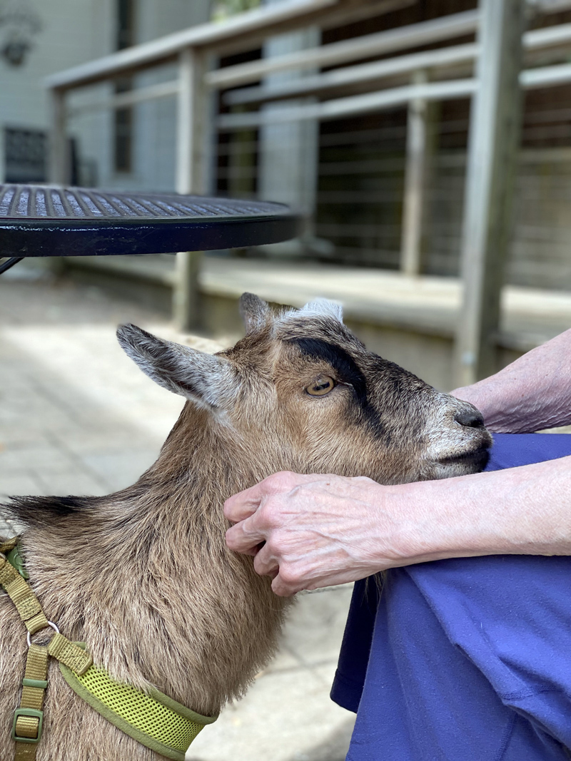 Opie the therapy goat was known and loved about town. (Photo courtesy Katherine Dunn)