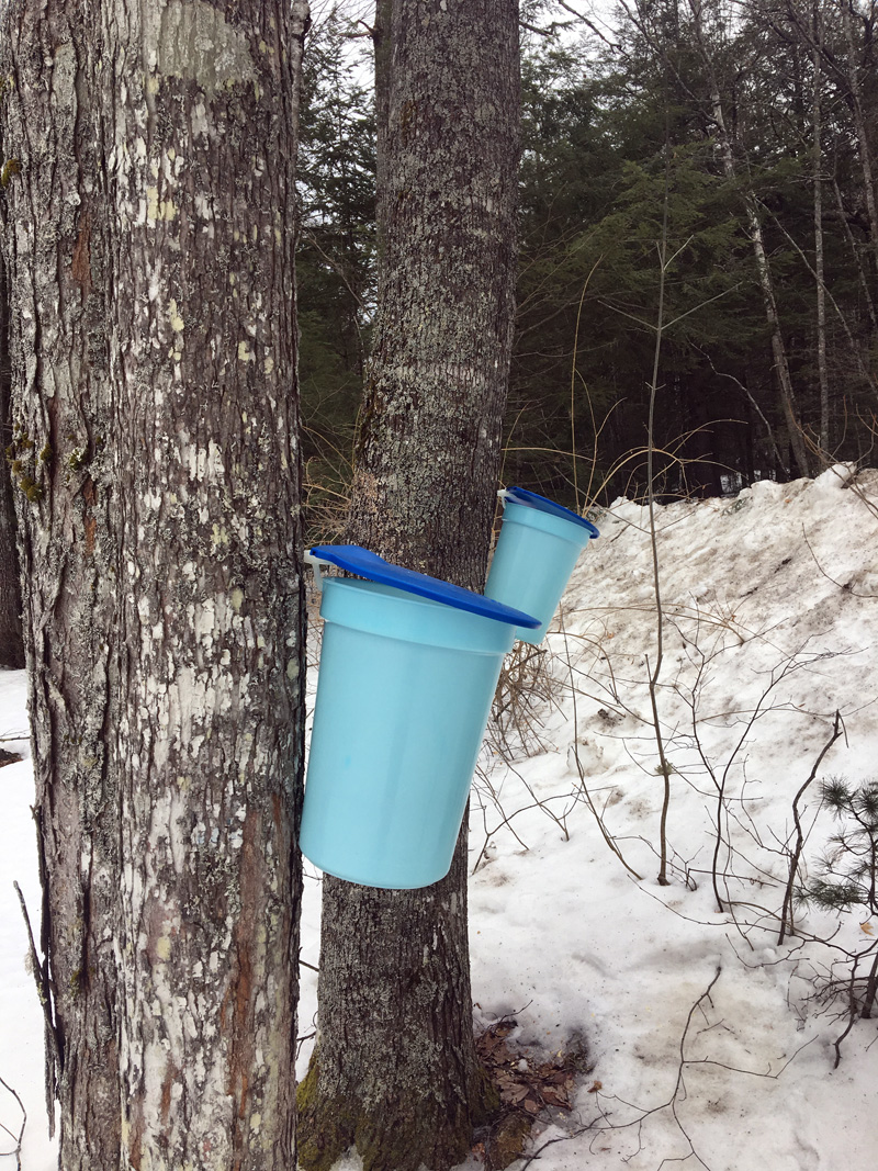 Maple buckets in Newcastle. (Photo courtesy Lee Emmons)