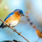 Coastal Rivers Offers Program on Attracting Bluebirds