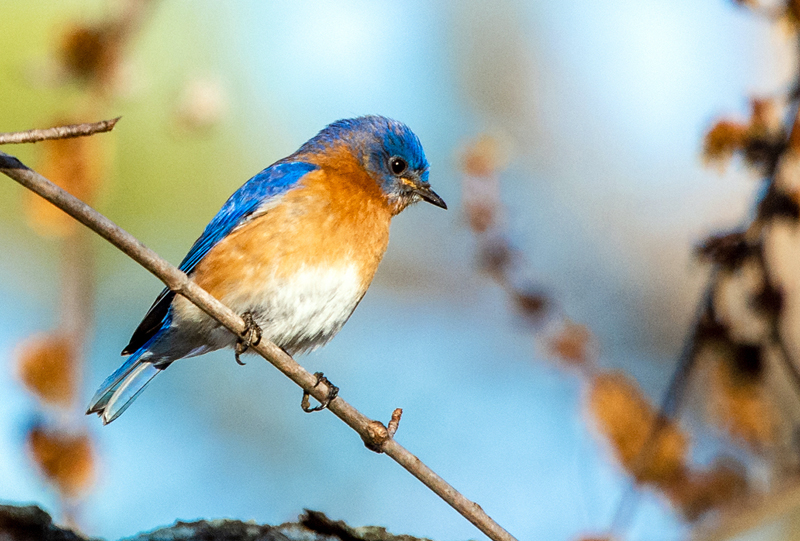 An eastern bluebird. (Photo courtesy Walt Barrows)