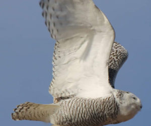 Jean Duncan's photo of a snowy owl in flight over Ocean Point received the most reader votes to win the February #LCNme365 photo contest. Duncan, of Newcastle, will receive a $50 gift certificate from Rising Tide Co-op, of Damariscotta, the sponsor of the February contest.
