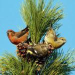 Mid-Coast Audubon to Present Talk on Finch Irruptions