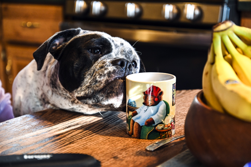 Bonnie sniffs a mug of tea at Wicked Good Bulldogges in Bristol on Saturday, April 3. Wicked Good Bulldogges has been in business since 2008. (Bisi Cameron Yee photo)