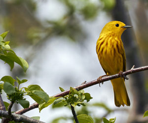 A yellow warbler sits on a branch. (Photo courtesy Don Reimer)